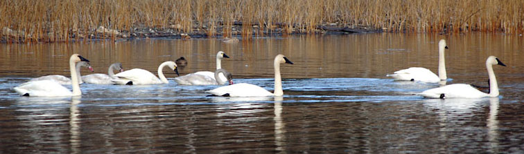 Swans on Sepa Lake, 108 Mile Ranch